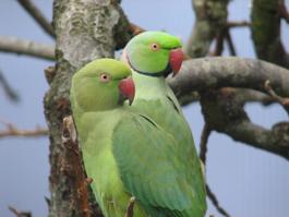 Club éleveurs oiseaux raco17